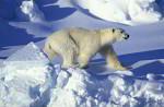 polar bear in pack ice ( Thalarctos maritimus )