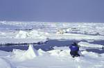 researcher views polar bear ( Thalarctos maritimus )