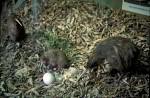 Kiwis am Nest Modell