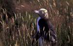 Gelbaugenpinguin ( Megadyptes antipodes )
