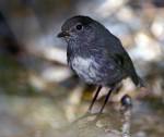 Rotkehlchen-ähnlicher Vogel auf neuseeland ( Petroica australis australis )