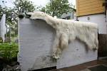 polar bear fur in Thorshavn