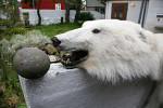 polar bear head in Thorshavn ( Thalarctos maritimus )
