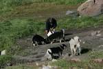feeding sledge dogs