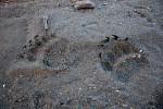 Grizzlyspuren im Sand