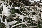 Karibu Geweihe ( rangifer sp. )