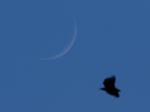 Mondsichel mit Seeadler ( haliaeetus albicilla )