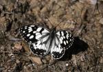 Schachbrettfalter ( melanargia galathea )