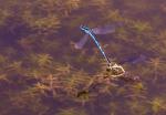 Hufeisen-Azurjungfern bei Eiablage ( coenangrion puella )