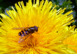 Schwebfliege auf Löwenzahnblüte ( syrphus sp., taraxum officinale )