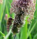 Schwebfliege an Seggenblüte ( carex sp. )