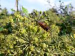 Biene auf Efeublüte ( apis sp., hedera helix )
