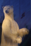 polar bear with norwegian flag ( thalarctos maritimus )