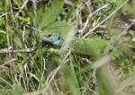 Smaragdeidechse ( lacerta viridis )