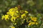 Perlmutterfalter auf gelber Blüte