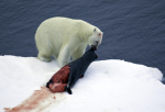 polarbear with dead seal ( ursus maritimus )