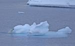 polar bear at ice flow ( ursus maritimus )