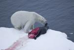 polar bear with seal on drift ice ( ursus maritimus )
