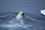 polar bear in water ( ursus maritimus )