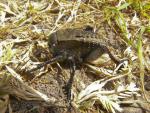 Laubheuschrecke ( Bradyporus dasypus (Illiger; 1800) )