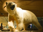 polar bear stuffed ( ursus maritimus )