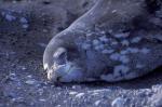 Weddell Robbe ( leptonychotes weddelli )