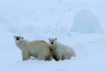 polar bear mother with cub ( ursus maritimus )
