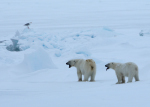 polar bear mother with cub ( ursus maritimus )