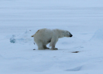 young polar bear shits ( ursus maritimus )