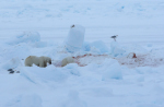 polar bear killing site ( ursus maritimus )