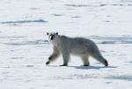 polar bear in Hornsund ( ursus maritimus )
