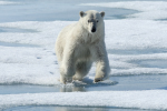 polar bear jumps ( ursus maritimus )
