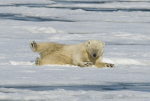 polar bear playing ( ursus maritimus )