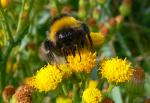 Hummel auf gelber Blüte ( bombus sp. )