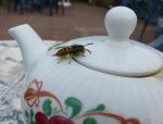 Wespe auf Teekanne ( vespula vulgaris )
