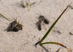 Insekten im Dünensand