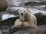 polar bear in Berlin zoo ( ursus maritimus )