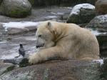 polar bear with carrion crow in Berlin zoo ( ursus maritimus, corvus corone )