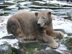 Knut ( ursus maritimus )