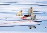 Eisbärenfamilie mit Robbe ( ursus maritimus )