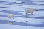 Eisbären im Sommereis ( ursus maritimus )