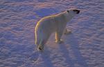 polar bear in midnight sun