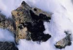 Flechten in Antarktis