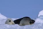 harpseals in pack ice ( phoca groenlandica )