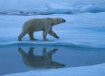 polar bear with reflection ( ursus maritimus )