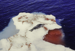 hunted harp seal for research ( phoca groenlandica )