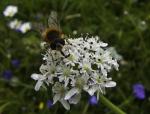 Fliege auf Blüten