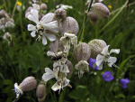 Traubenkropf-Leimkraut mit Fliege ( silene vulgaris )