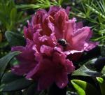 Fliege auf Rostblättriger Alpenrose ( rhododendron ferrugineum )