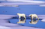 two young polar bears ( ursus maritimus )